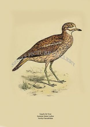 Courlis De Terre - Eurasian Stone Curlew - Family Charadriidae